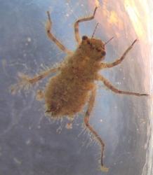 523px-Anisoptera_larva (218x250)