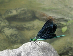 781px-Calopteryx_virgo2 (250x192)