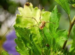 800px-Arachnida_Opiliones_Luc_Viatour (250x183)