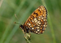 800px-Melitaea_britomartis_podgorje01 (250x177)