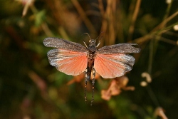 800px-Psophus_stridulus_flying (250x167)