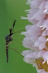 Ochlerotatus_punctor_male (166x250)