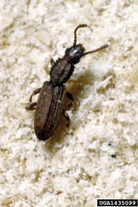 Saagtandad plattbagge Oryzaephilus surinamensis Foto wikipedia commons