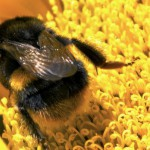 bumblebee_on_sunflower-spl